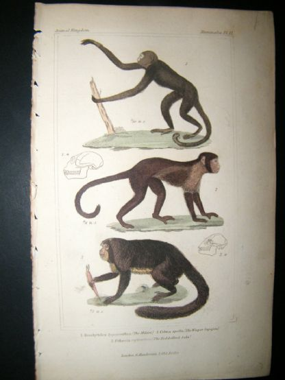 Cuvier C1835 Antique Hand Col Print. The Mikiri, The Weeper, Sapajou, 12 | Albion Prints